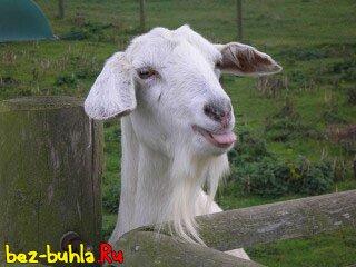 Домашняя коза